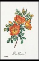 Rose ponceau