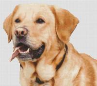 Labrador jaune